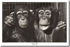 Chimp pals (2)