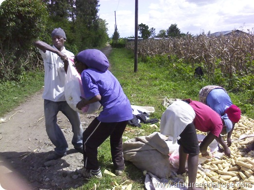 loading maize into sacks