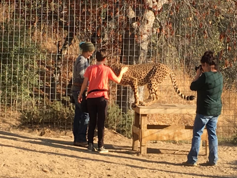 Petting a cheetah